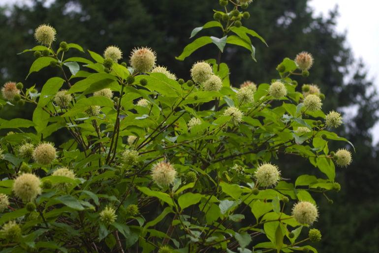vintergrønn hekk buksbom