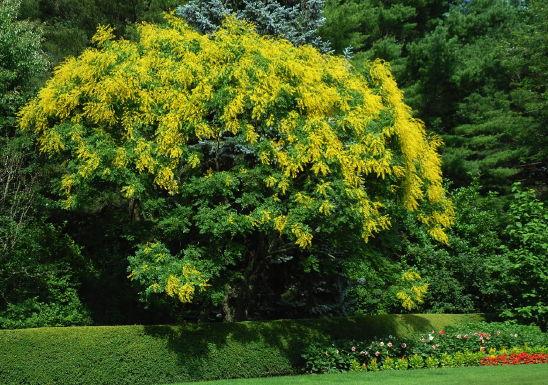 Koelreuteria paniculata2