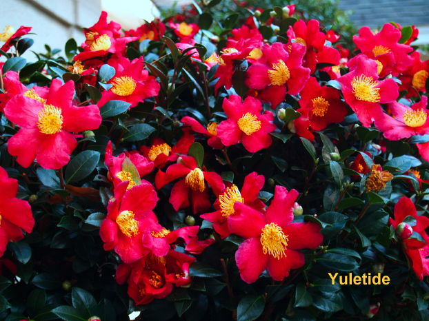 camellia-sasanqua-yuletide