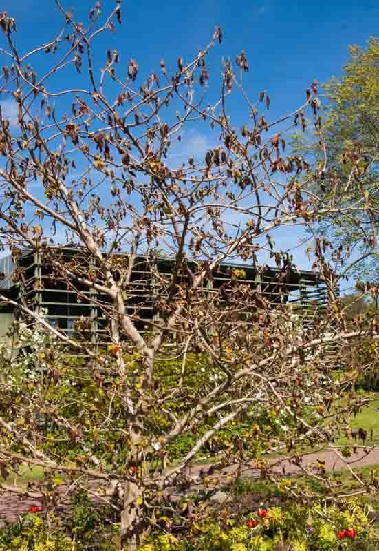 Den sommerblomstrende Magnolia x wieseneri, et sørgelig syn i mai