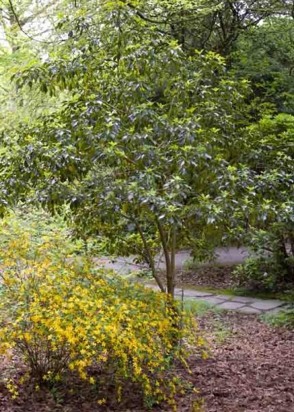 Sånn skal Trochodendron se ut etter noen år