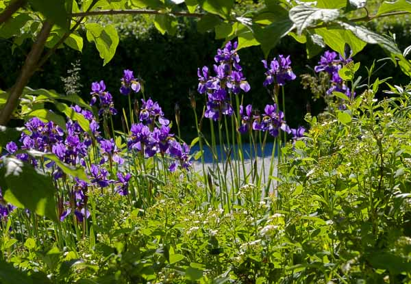 Irissibirica