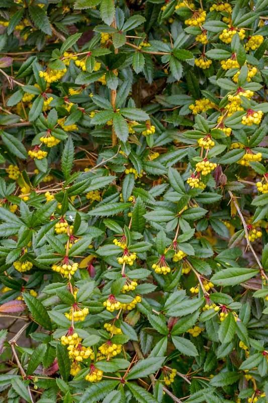 Berberis julianae i blomst