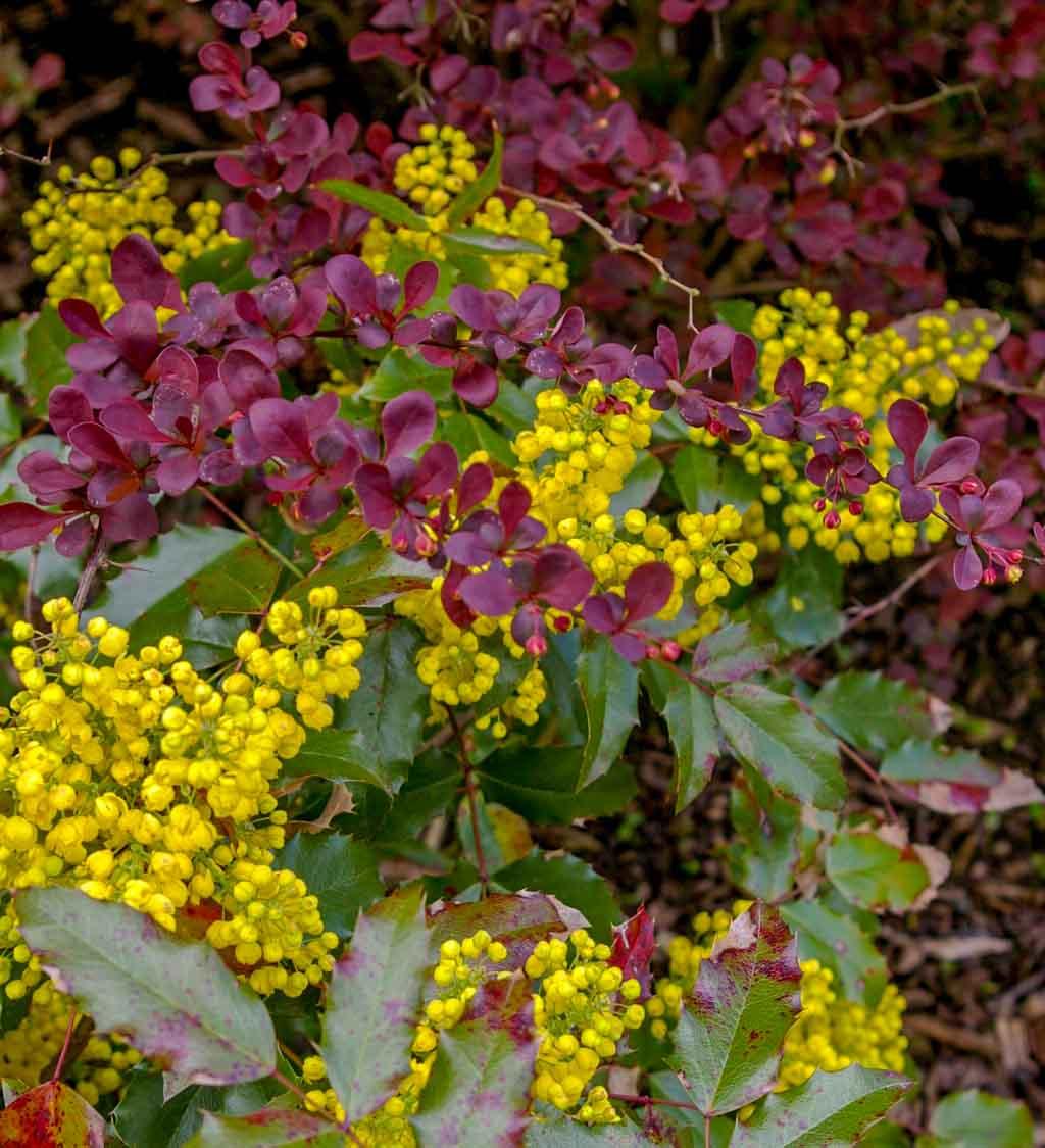 Vintergrønne busker med blomster