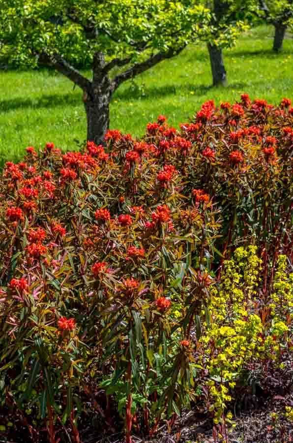 Blomstring i mai. Nederst til høyre: Mandelvortemelk