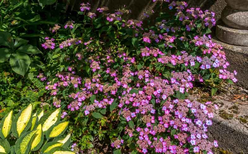 Hydrangea serrata 'Mt. Aso' i juli