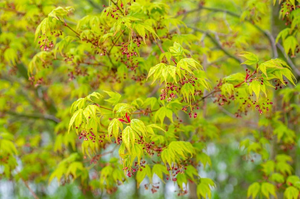 Viftelønn (Acer palmatum) i april-mai