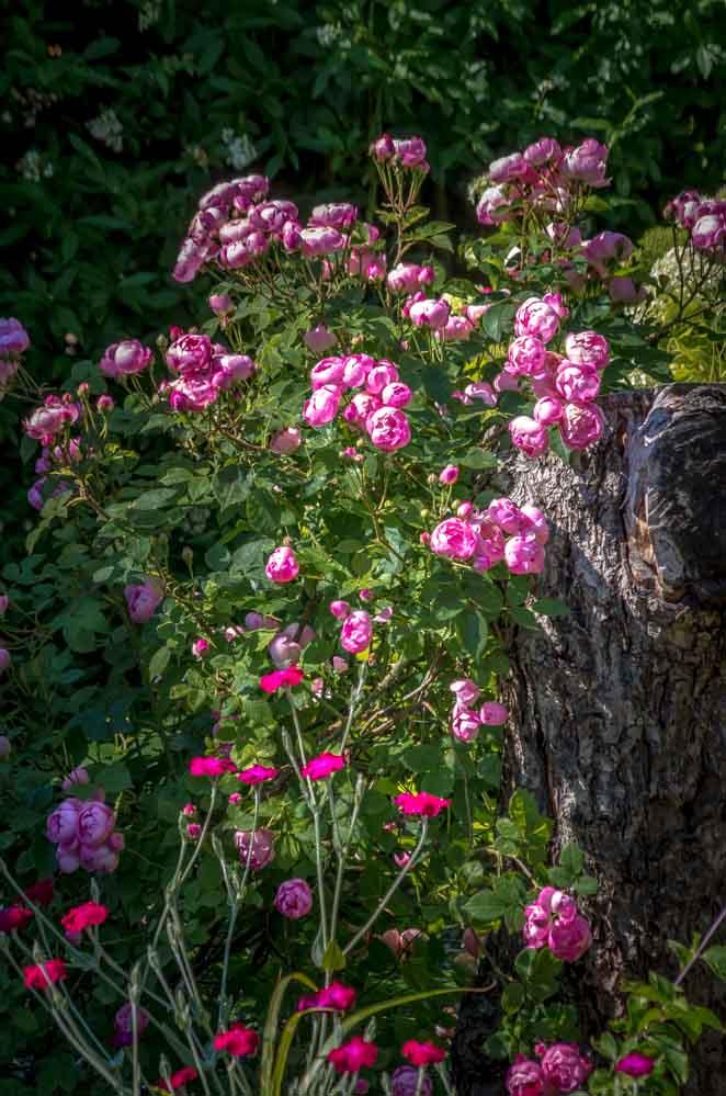 Rosa macrantha 'Raubritter'